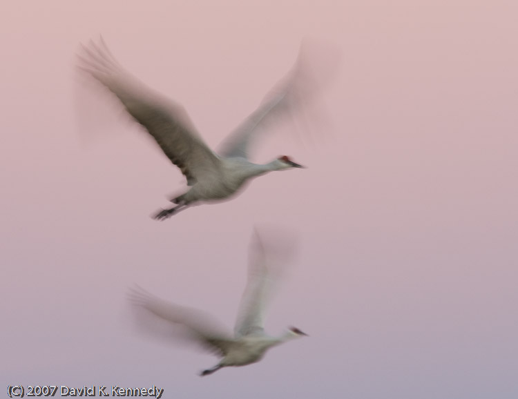 Sandhill Cranes flight blur