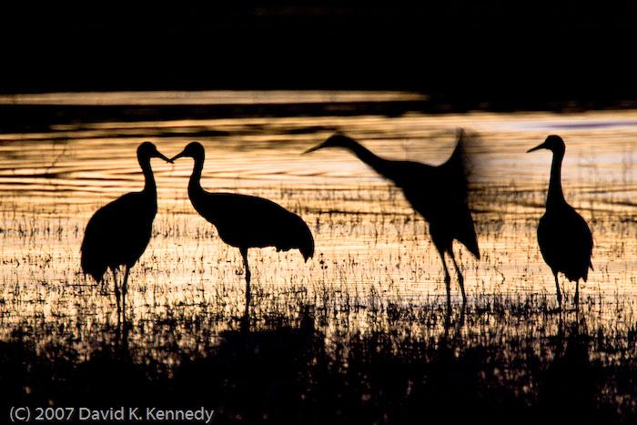 Sandhill Cranes at Bosque