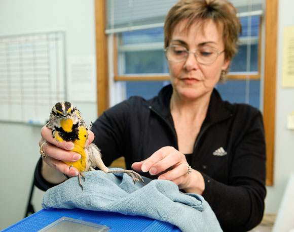 """Diane Dorter inspects a Meadow Lark with an injured foot on Sunday, March 15, 2009 at Wild Bird Rehabilitation in St. Louis, Mo.  Dorter, one of three paid staff at the non-profit organization, was training Lizzie Vreeland, a volunteer from Washington University, how to care for birds at WBR's """"emergency room.""""  Many of the birds require medication and are """"tubed"""" via syringes, a procedure that requires great care."""