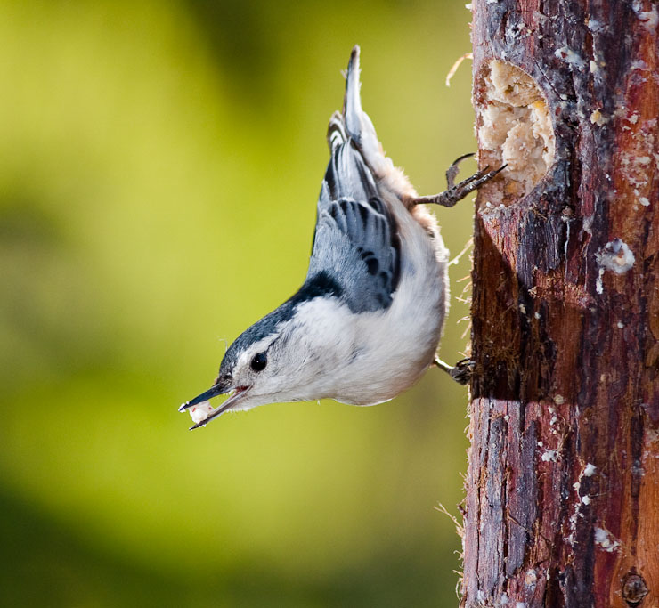 White-breasted Nuthatch on suet feeder, Racine, Wis.
