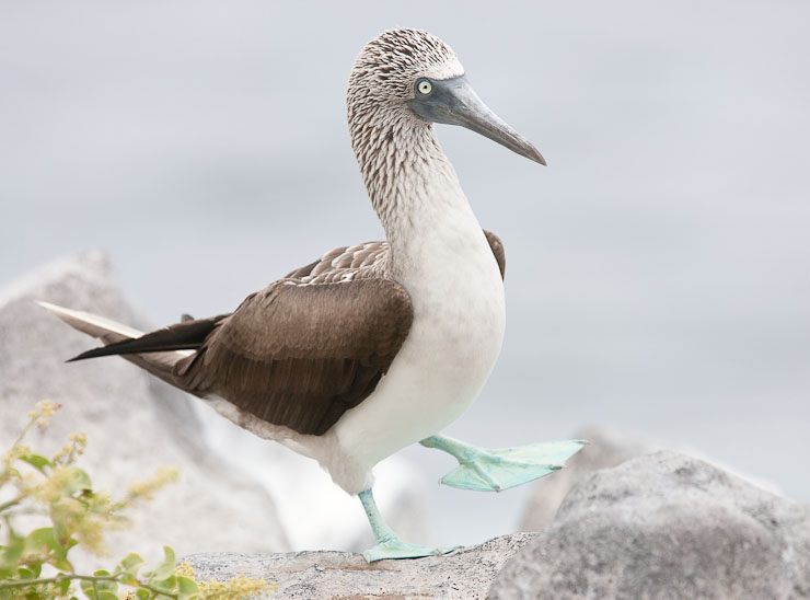 Blue-footed Booby preparing to display, Hood Island.  Canon 1D IIn and 400mm f/4 DO IS lens.  Exposed 1/1250 sec. @ f/5.6, ISO 320.
