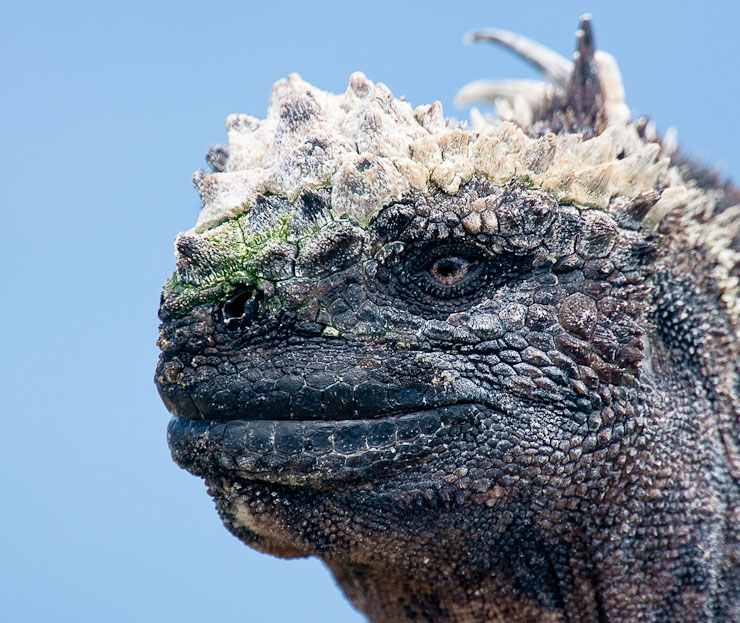 Marine Iguana against the Pacific Ocean, Fernandina Island.  Canon 1D IIn and 400mm f/4 DO IS with 2x TC, exposed 1/200 sec. @ f/8, ISO 400.