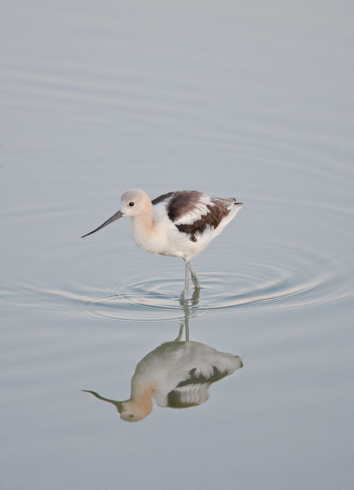 American Avocet, Bear River Migratory Bird Refuge, Brigham City, Utah.  Canon 1D IIN and 400mm f/4 DO IS lens; exposed 1/160 sec. @ f/4, ISO 800.