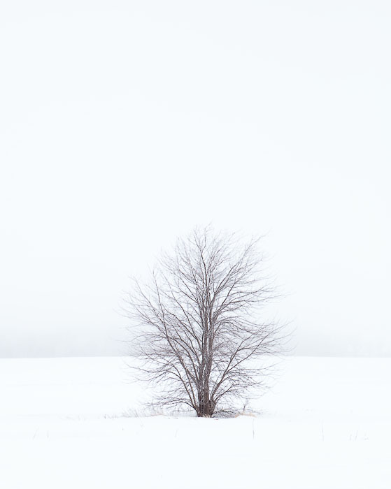 Lone tree, Burlington, Wis.