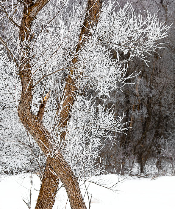 Trees and hoarfrost, Burlington, Wis.