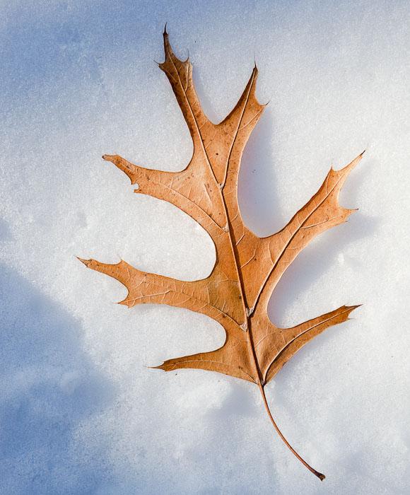 Thirty Days - Day Nine - Fallen Leaf on Snow