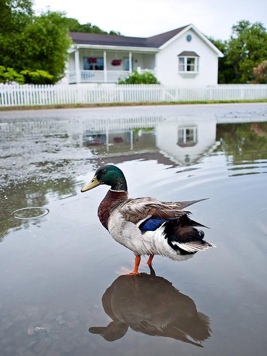 Mallard drake in Ocracoke, N.C.