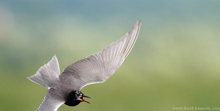 Black Tern banking in flight