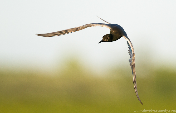 Black Tern swooping in for a fish