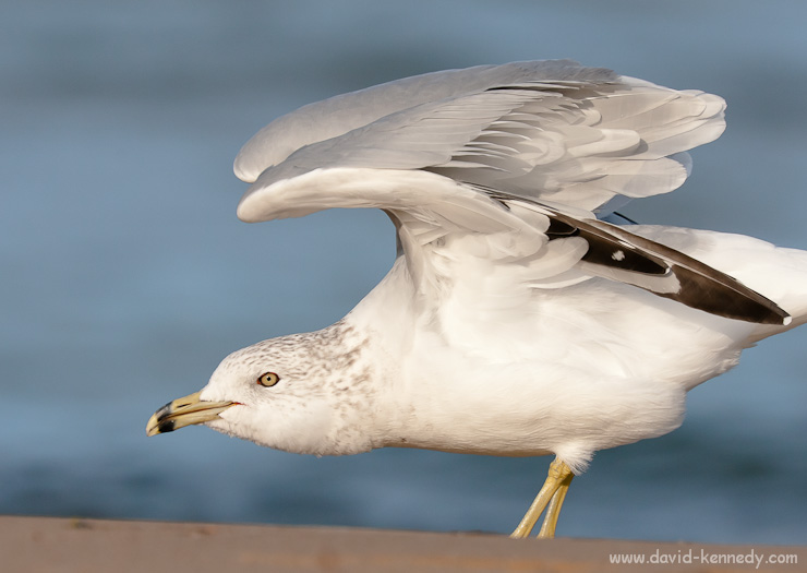 Ring-billed Gull stretching