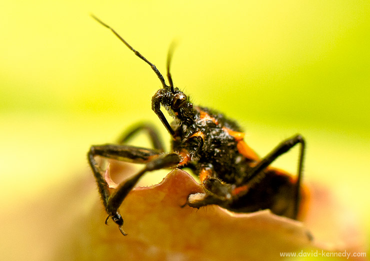 Another perspective on the Assassin Bug.