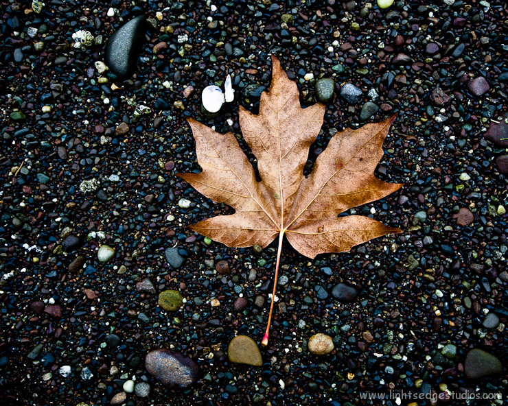 Fallen Broadleaf maple leaf at Oyster Bay, Olympia, Washington.