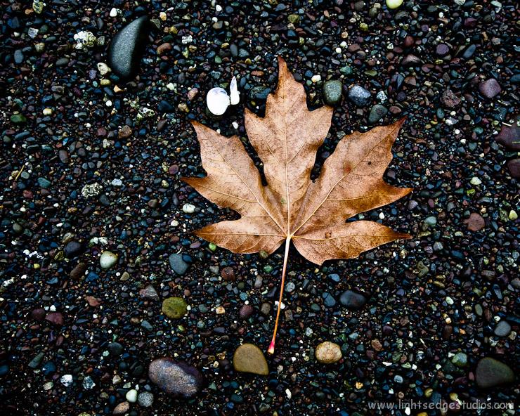 Fallen Broadleaf maple leaf at Oyster Bay, Olympia, Washington.