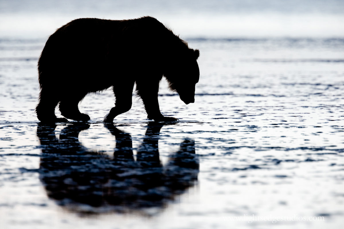 Alaskan coastal brown bear at Lake Clark National Park. Photographed with a Canon 1DX and 400mm DO IS with 2X III extender