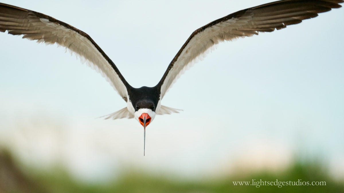 A Black skimmer flies towards the camera at Wrightsville Beach, NC. Photographed with a Sony A9 and Sony FE 100-400mm GM lens @ 400mm
